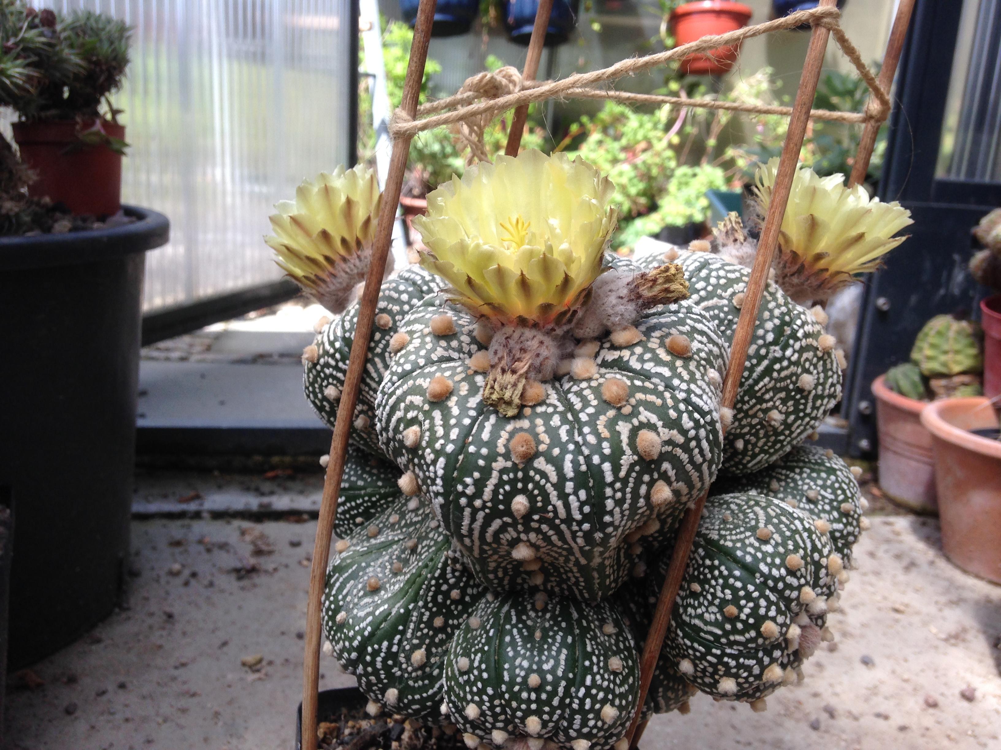 Astrophytum asterias cv. Hanazoe (jap. Culturhybride)
